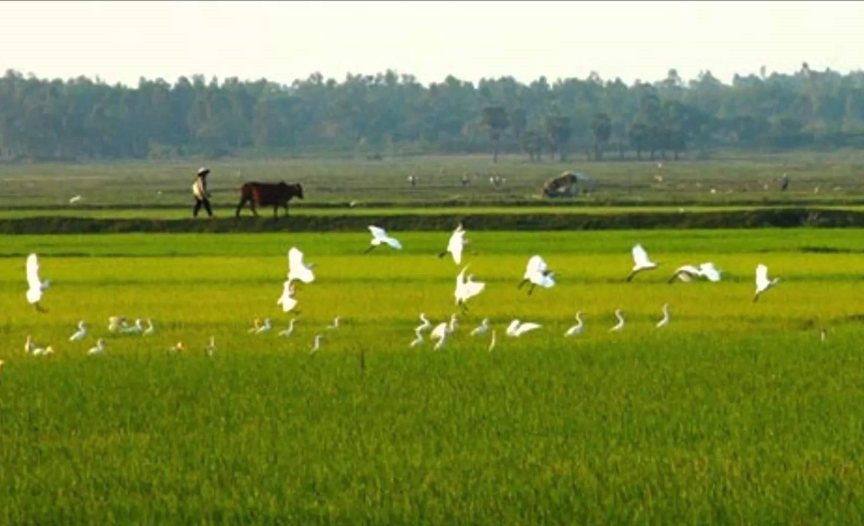 Cánh đồng lúa quê hương Thái Bình